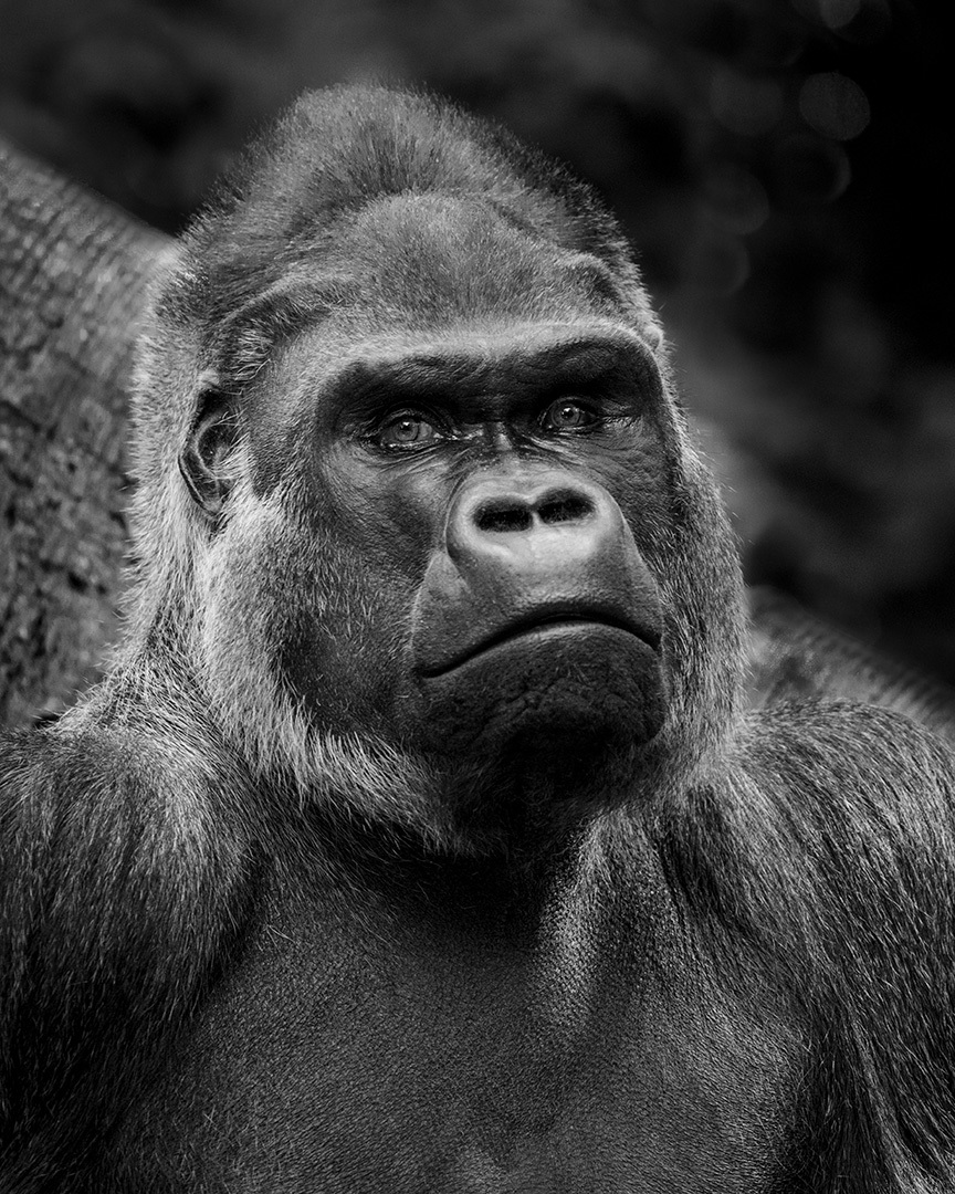 Bronx Zoo 3 - Gorillas